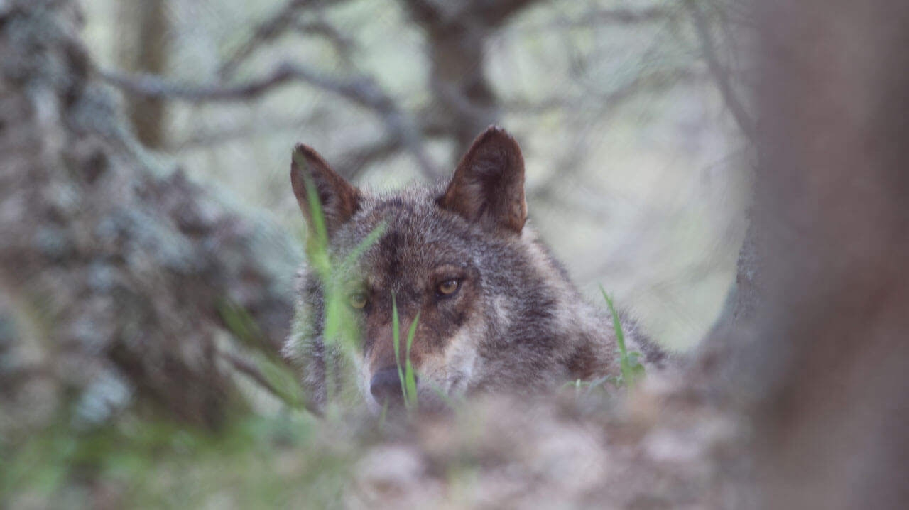 10 eco-volunteering holidays in the UK and Europe; wolf