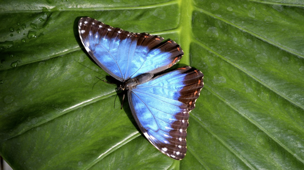 Natural History Blue Morpho in Portsmouth