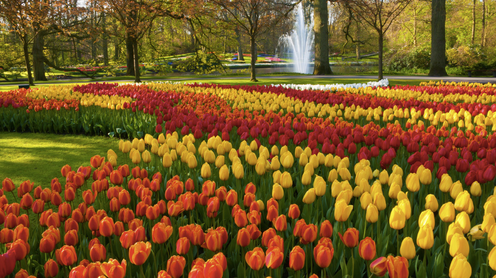 Where to see tulips near Amsterdam