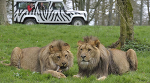 10 socially distanced days out lions Longleat