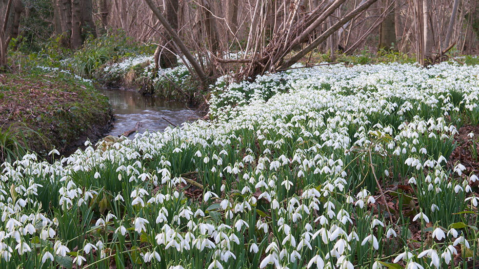 See snowdrops near where you live or attend a Snowdrop Festival