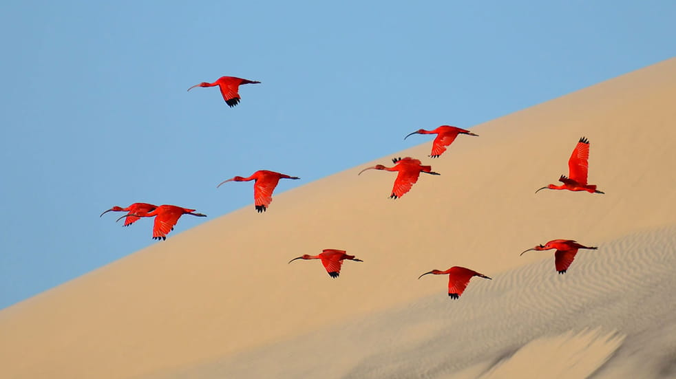 Scarlet ibis birds in Brazil, one of the winners of the Wildlife Photography of the Year competition