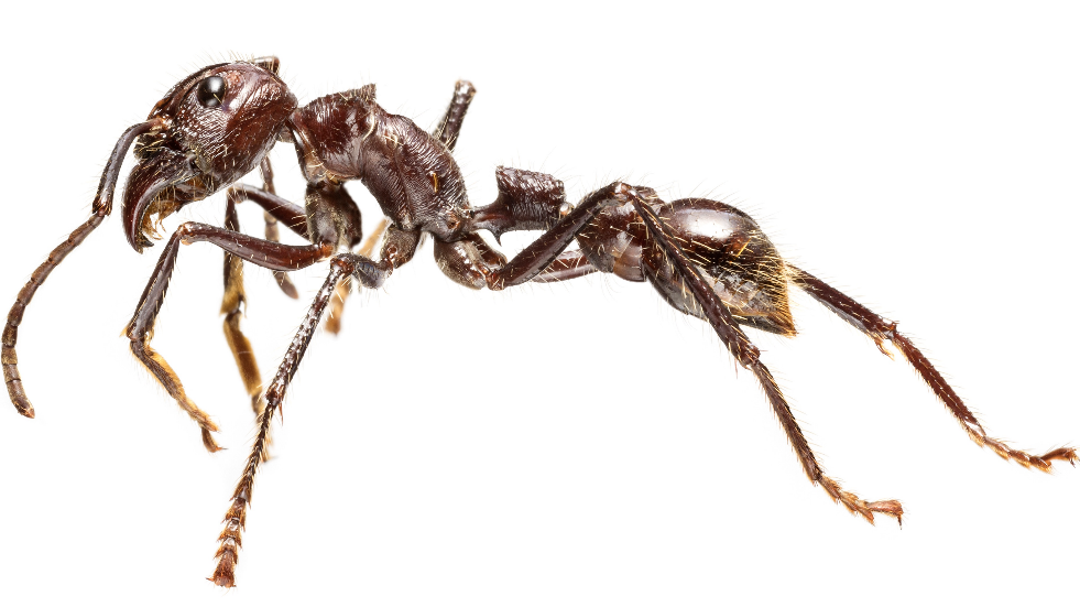 Deadliest ant on show at The Nautural History Museum