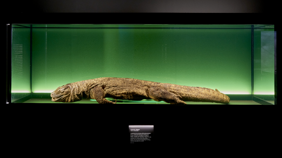 Komodo dragon on display at The Natural History Museum