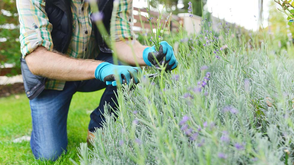 August bank holiday gardening tips cutting lavender