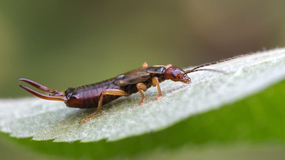 August bank holiday gardening tips earwig