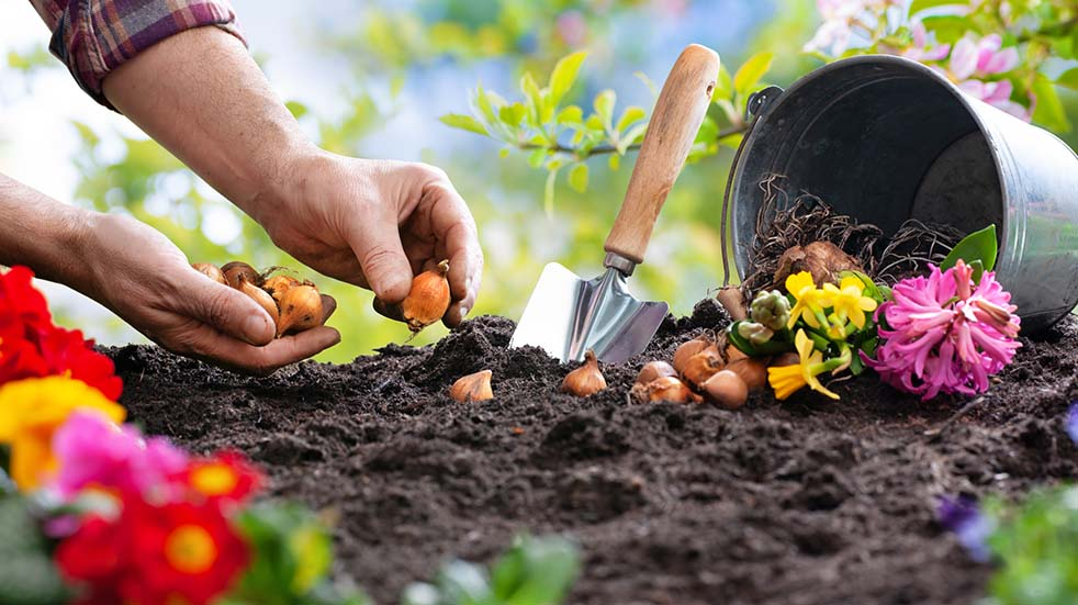 August bank holiday gardening tips planting daffodils