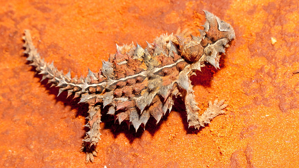 Best of Australia's Northern Territory: thorny devil
