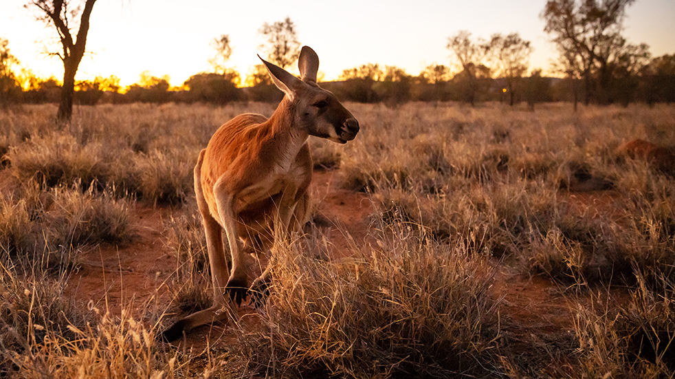 Best of Australia's Northern Territory: kangaroo in the bush