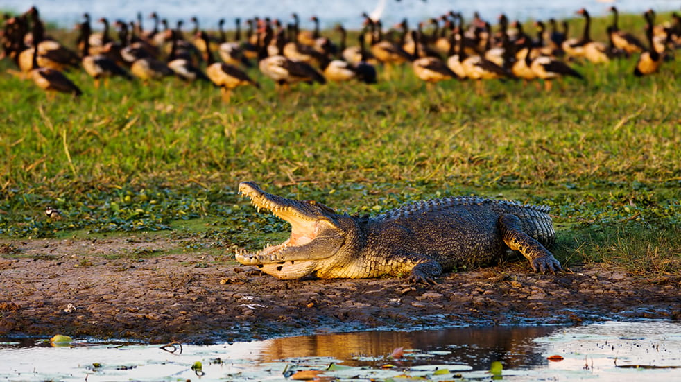 Best of Australia's Northern Territory: saltwater crocodile