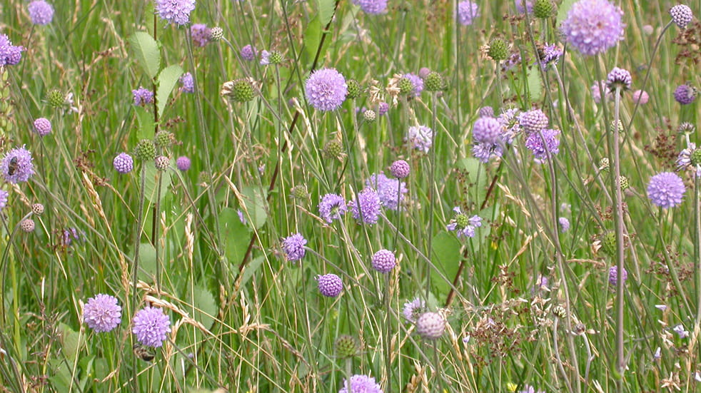 Best autumn activities: Devil's-bit scabious