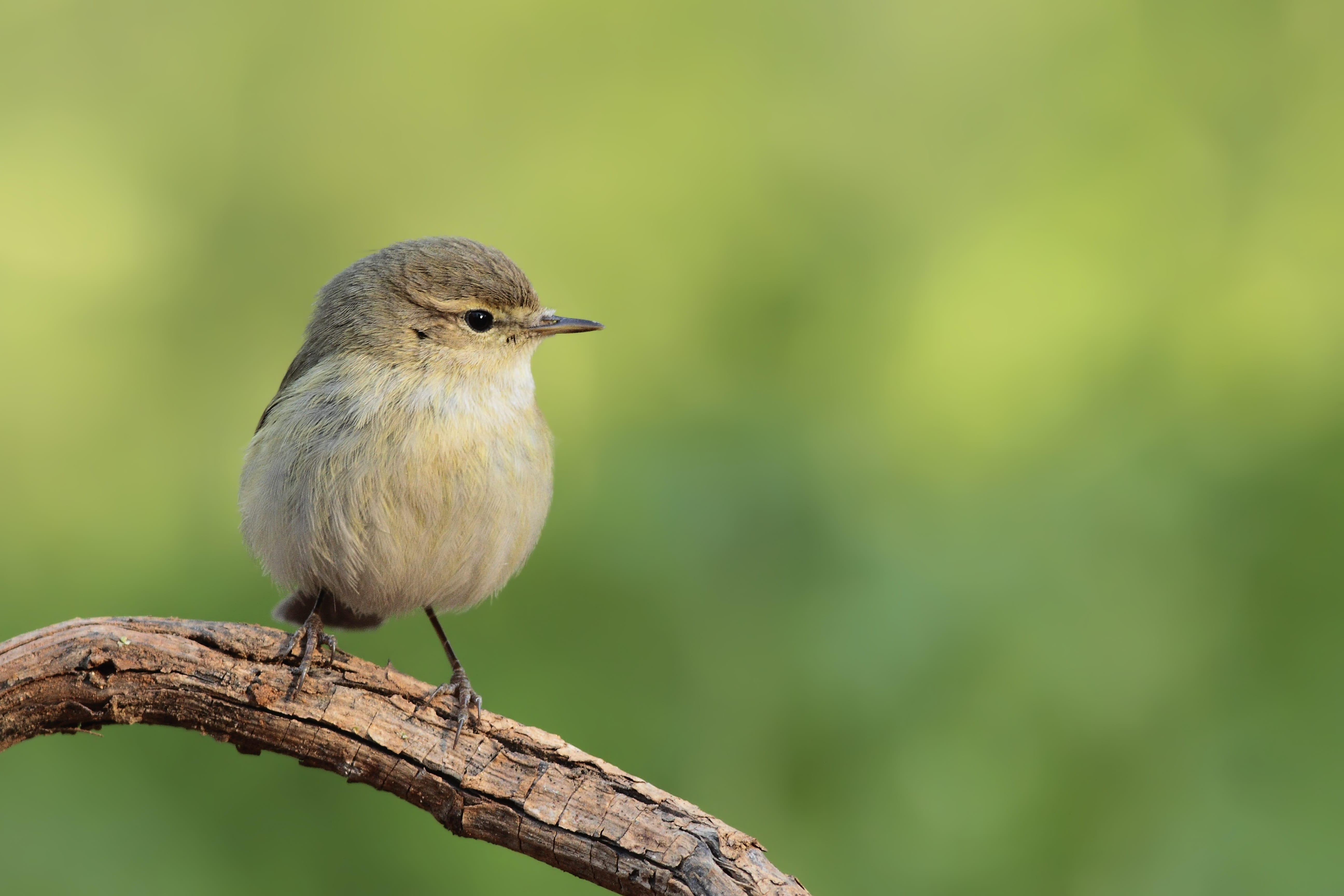 Chiff chaff, small British bird.
