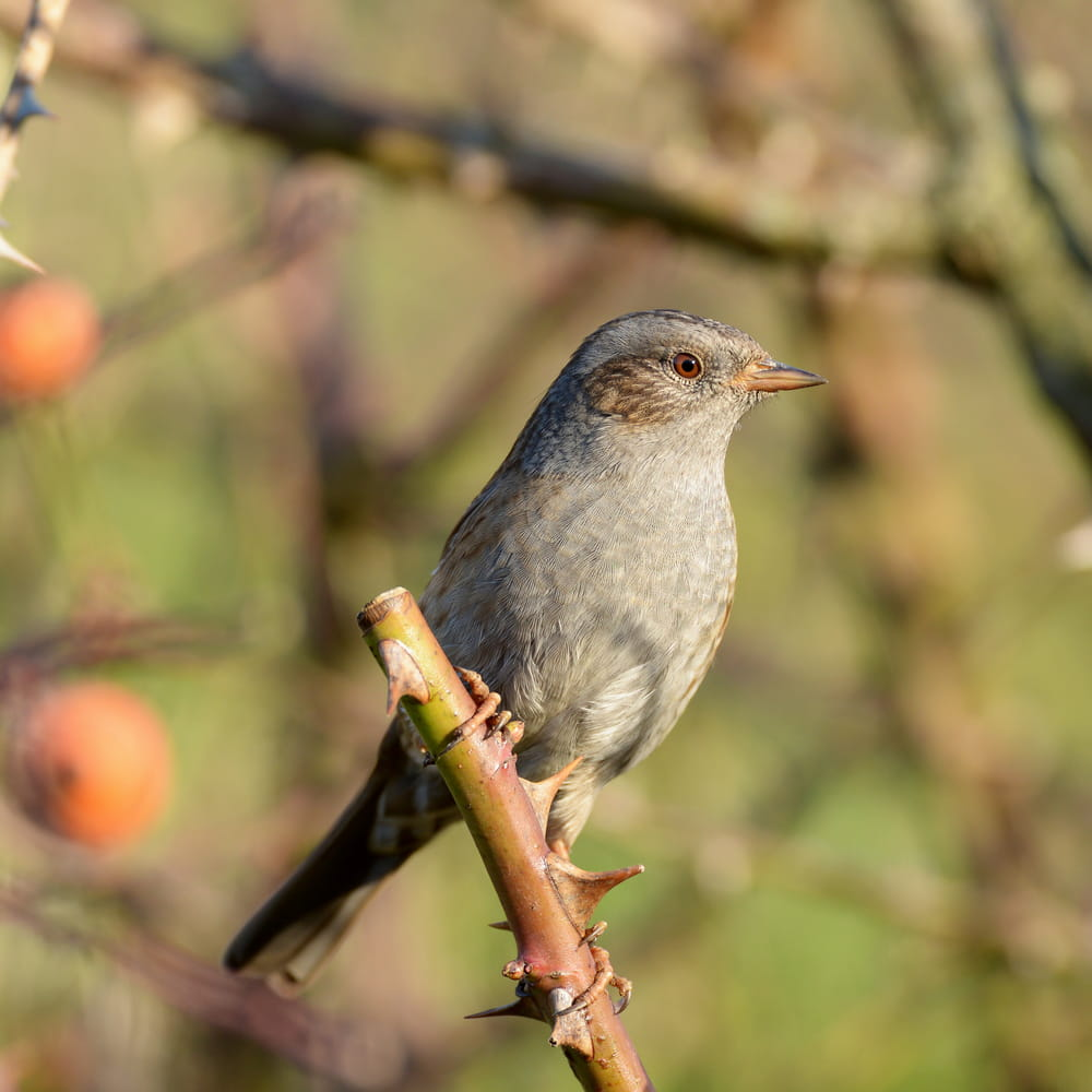 Dunnock, small British bird