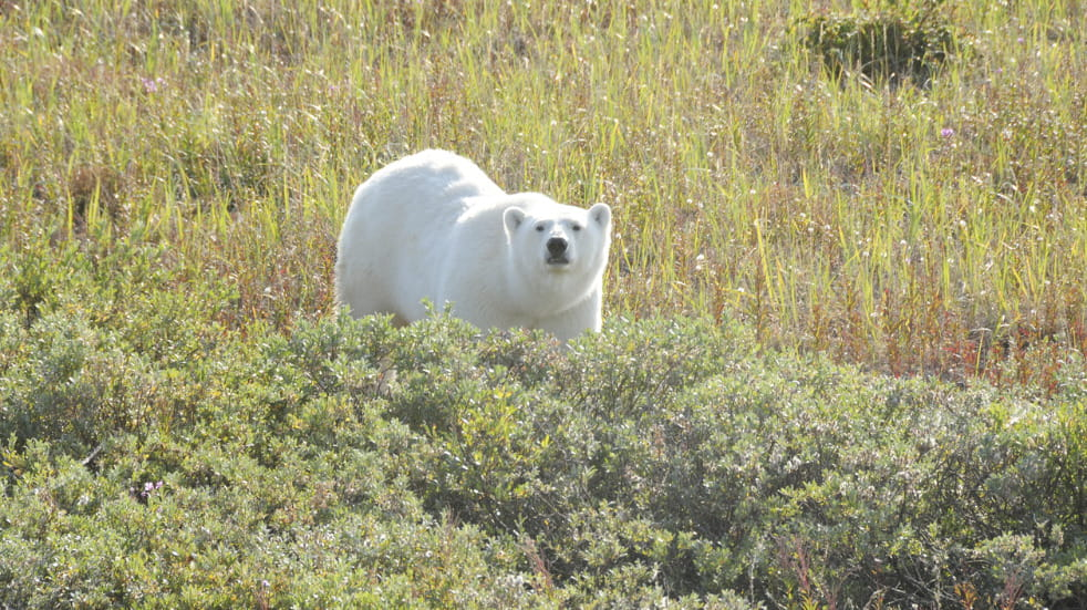 Where to see polar bears in canada
