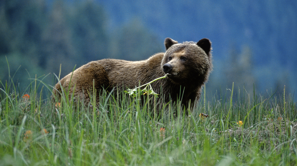 Where to spot bears in the wild in Canada