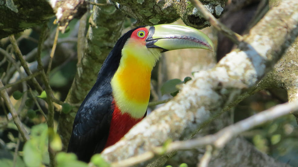 Explore Costa Rica: five unmissable experiences – red breasted toucan