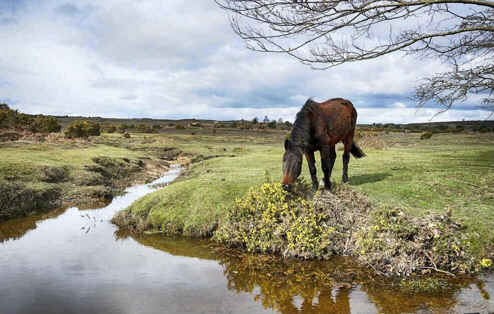 Brown horse eating beside a stream in the New Forest