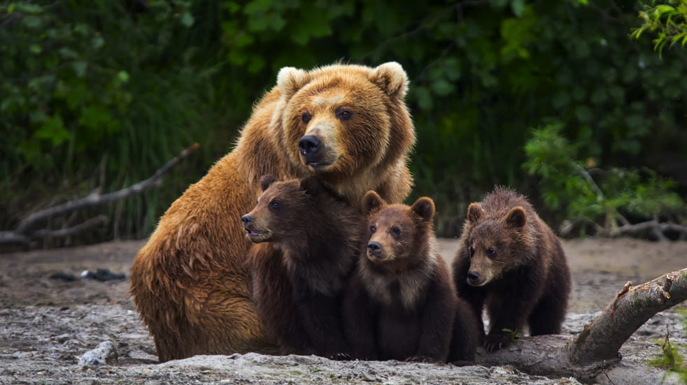 Brown bears in Katmai National Park in Alaska