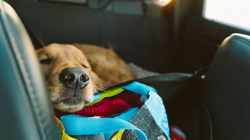Driving in the EU after Brexit dog sleeping