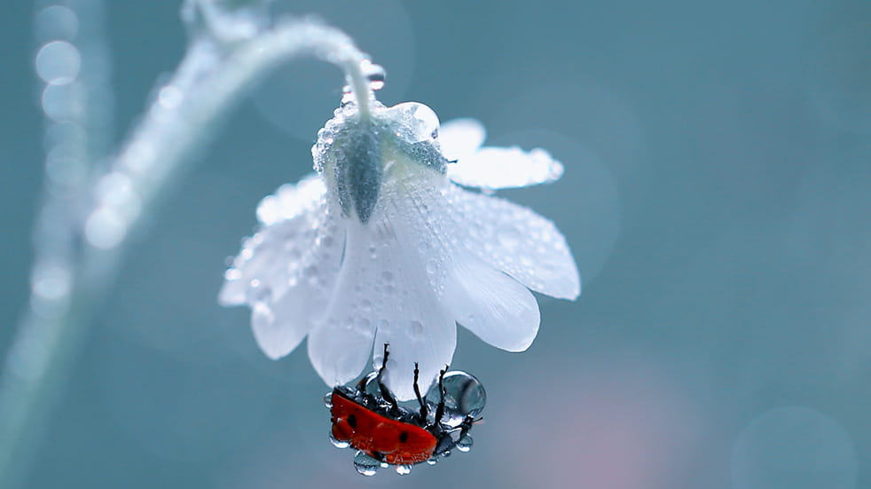 Ladybird hanging to a white flower with a dew drop on it