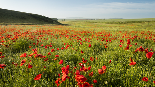 Poppy field, Isle of Wight