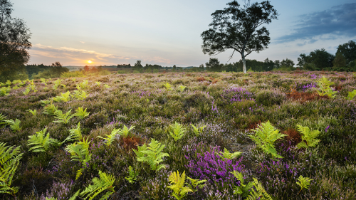 A Field of lavender and ferns at sunset
