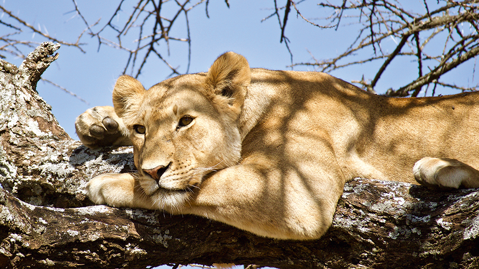 Explore Travel guide: lion on safari