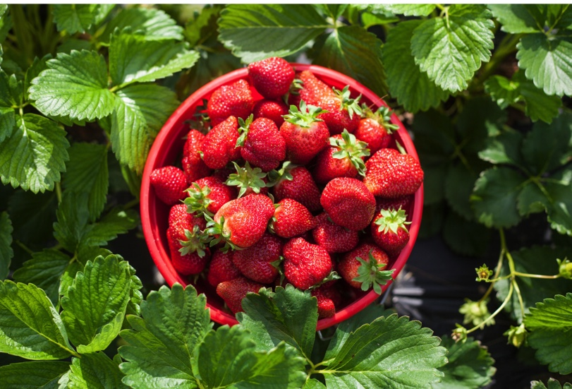 strawberry punnet pick your own