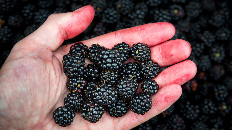Tips for foraging in autumn: blackberries are a favourite for berry picking