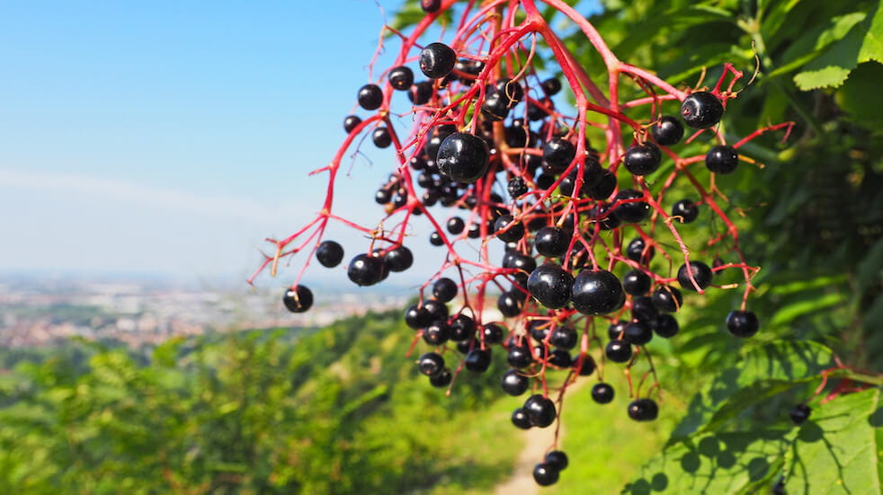Tips for foraging in autumn: elderberries can be used to make fruit vinegar and syrup