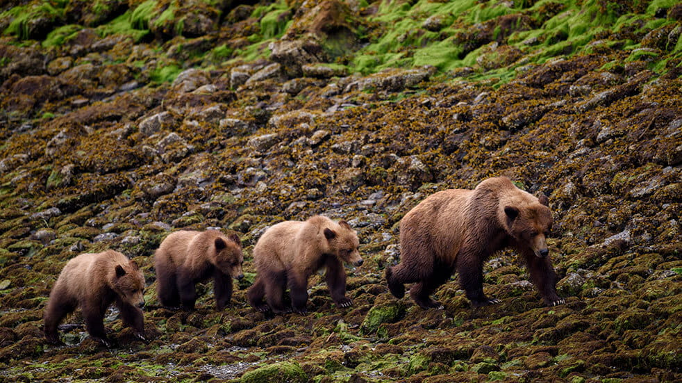 Frontier Canada travel guide: grizzly bear family
