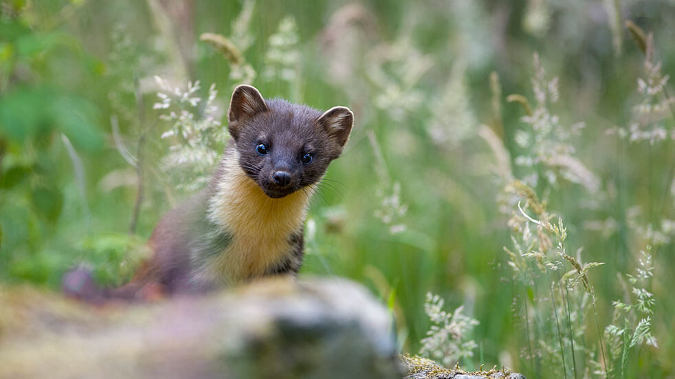 Pine martens reintroduced to the Forest of Dean
