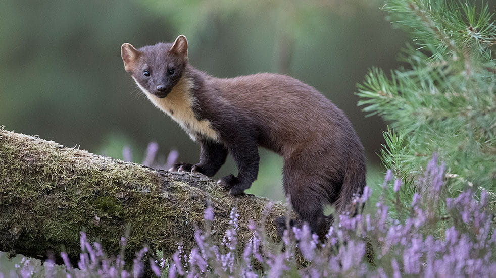 Pine marten on a tree trunk in the Forest of Dean