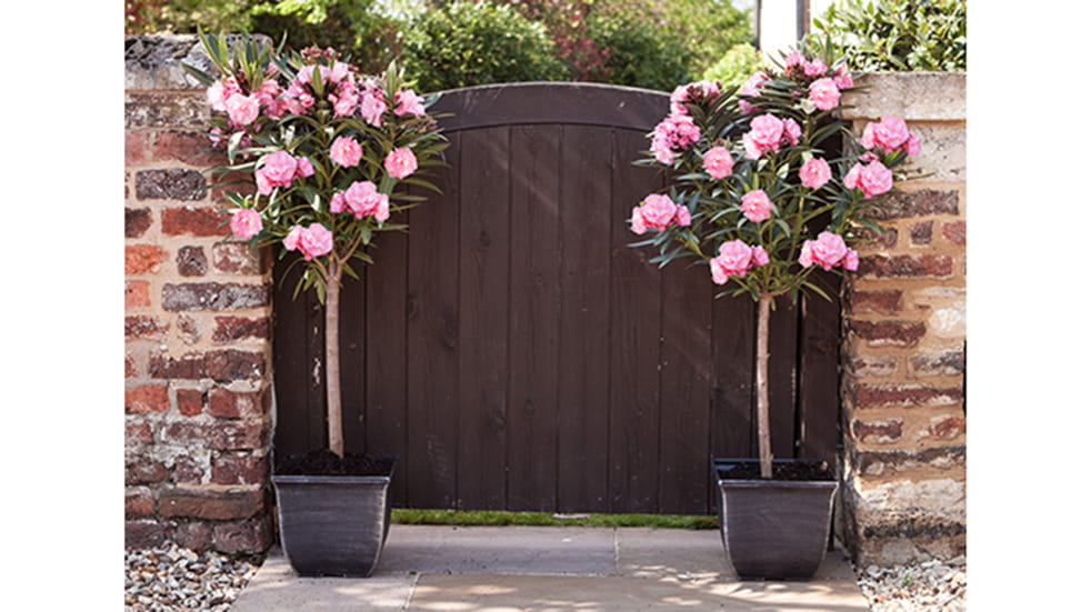 Spruce up your garden with YouGarden Oleanders