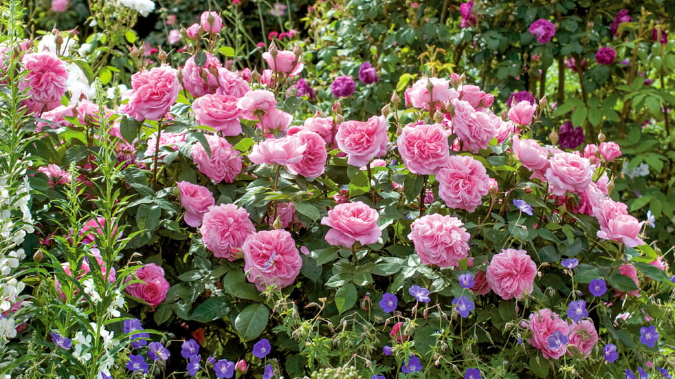 Spruce up your garden with David Austin roses
