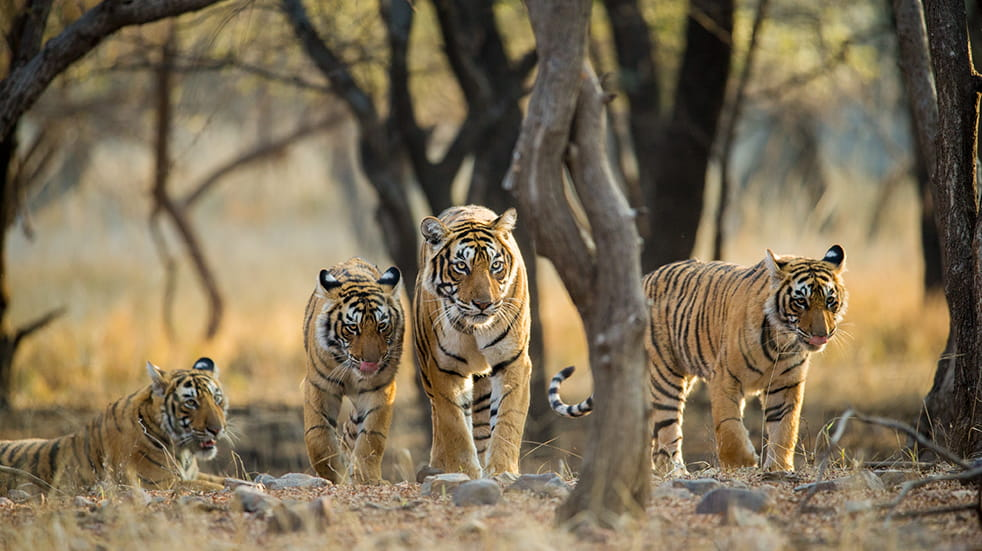 Sustainable and eco tourism: tigers in Ranthambore National Park in Rajasthan