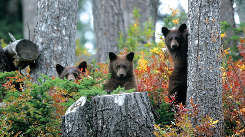 Bear cubs frolic in the woods in Alberta