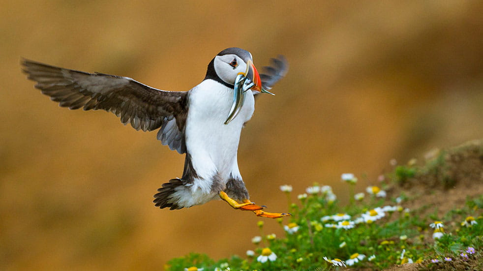 Wildlife photography tips puffin