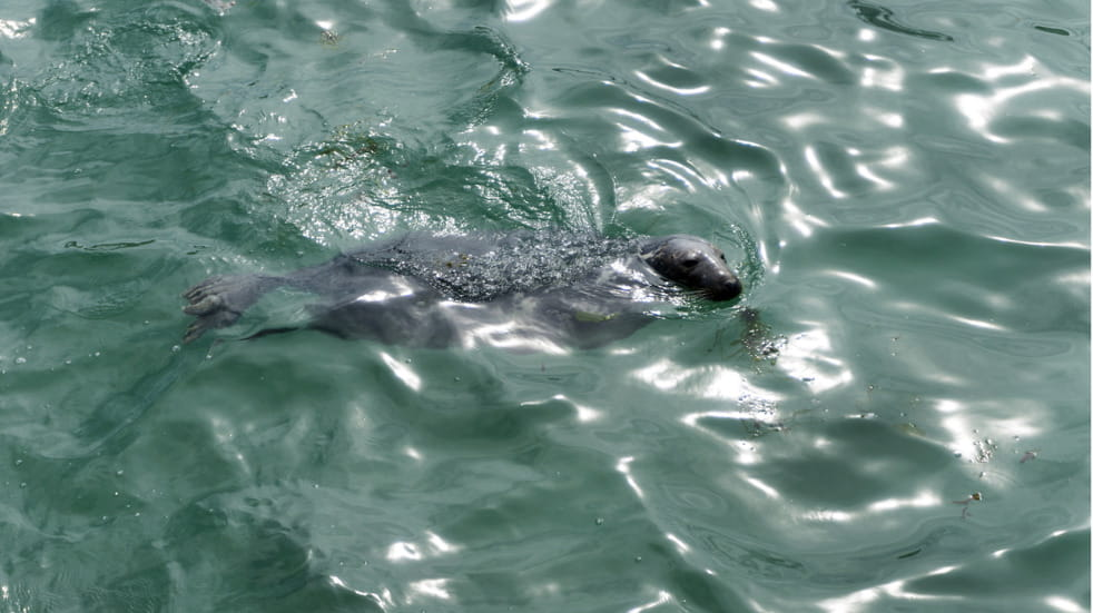 Where to see seals in Cornwall
