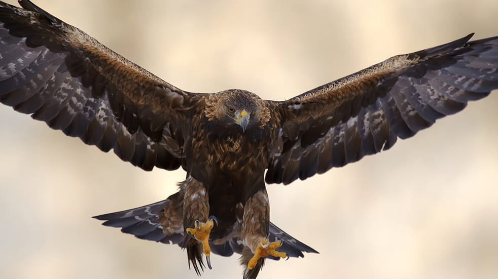 Wildlife watching in the UK: golden eagle in the Cairngorms