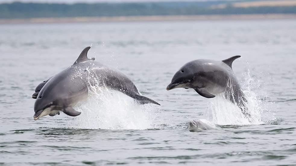 Wildlife watching in the UK: bottlenose dolphins in Cardigan Bay