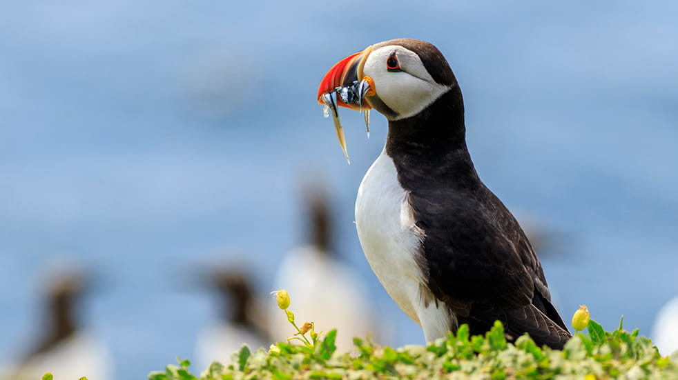 Wildlife watching in the UK: puffins on Lundy Island