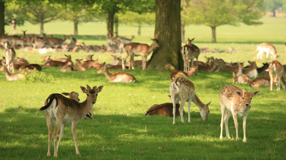 Wildlife watching in the UK: deer in Richmond Park