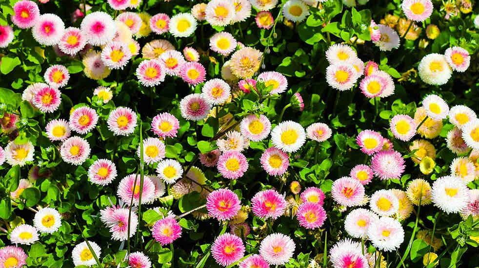 Photo of various different colour Bellis flowers