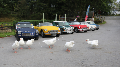 A group of classic vehicles lined up with Geese walking in front