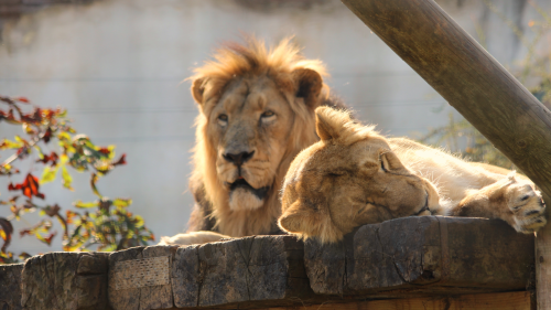 Lions at the Zoo