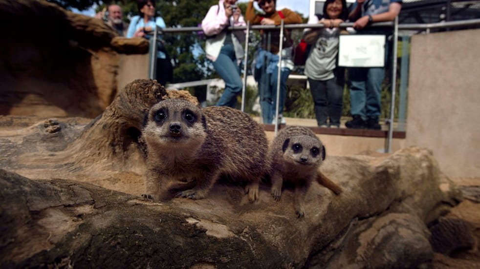 Meerkats at London Zoo