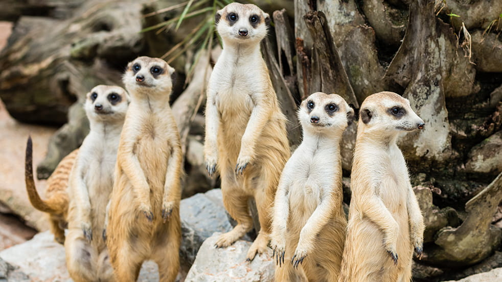 Meerkats ready for feeding time