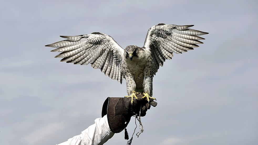 Peregrine falcon, birds of prey