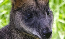 Face of a wallaby